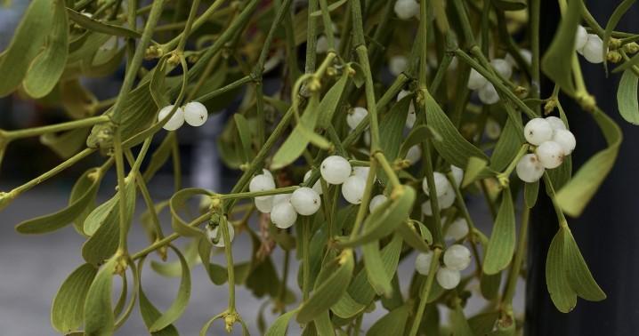 roślina na święta