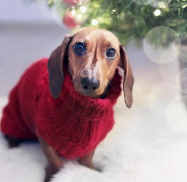 piesek w swetrze